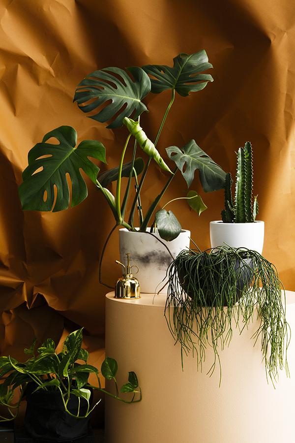 buy on trend house plants online at domus botanica the interiors addict. Black Bedroom Furniture Sets. Home Design Ideas